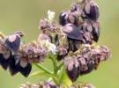 Fagopyrum_esculentum_seed_001