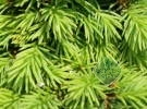 Picea abies 'Horace Wilson'
