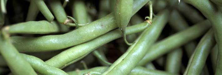 Beans_green_Phaseolus_vulgaris_DP338