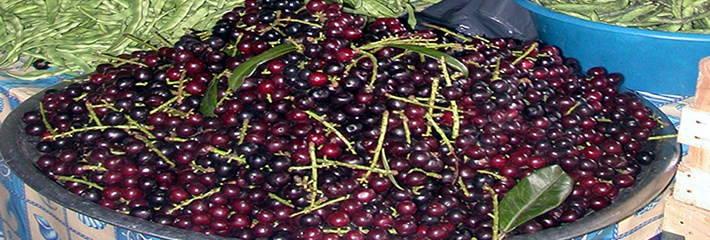 Taflan, Kirschlorbeer, Prunus laurocerasus