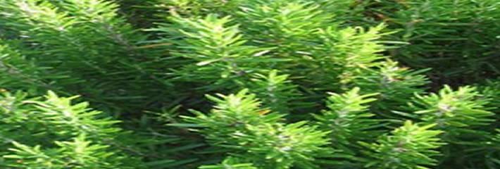 Yabani Biberiye, Sumpfporst, Ledum palustre